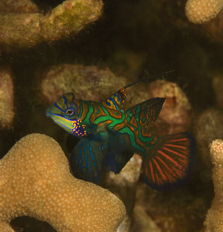 Mandarin Fish - Male Only
