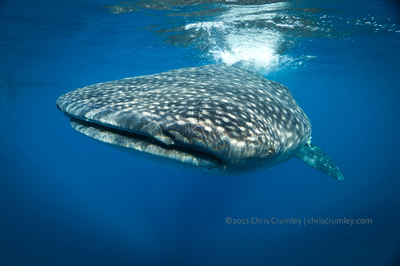 Whale Sharks - Isla Mujeres, Mexico