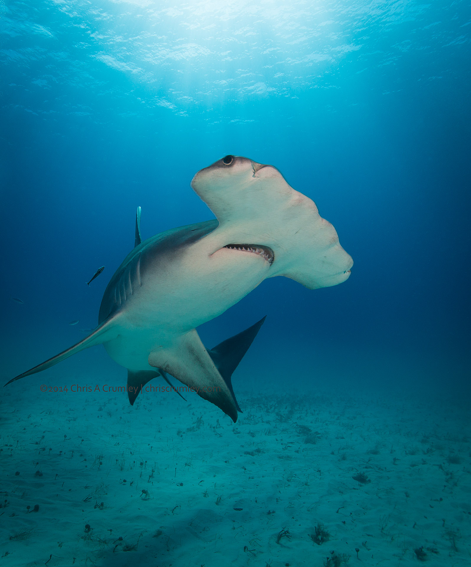 Great Hammerhead Shark off South Bimini
