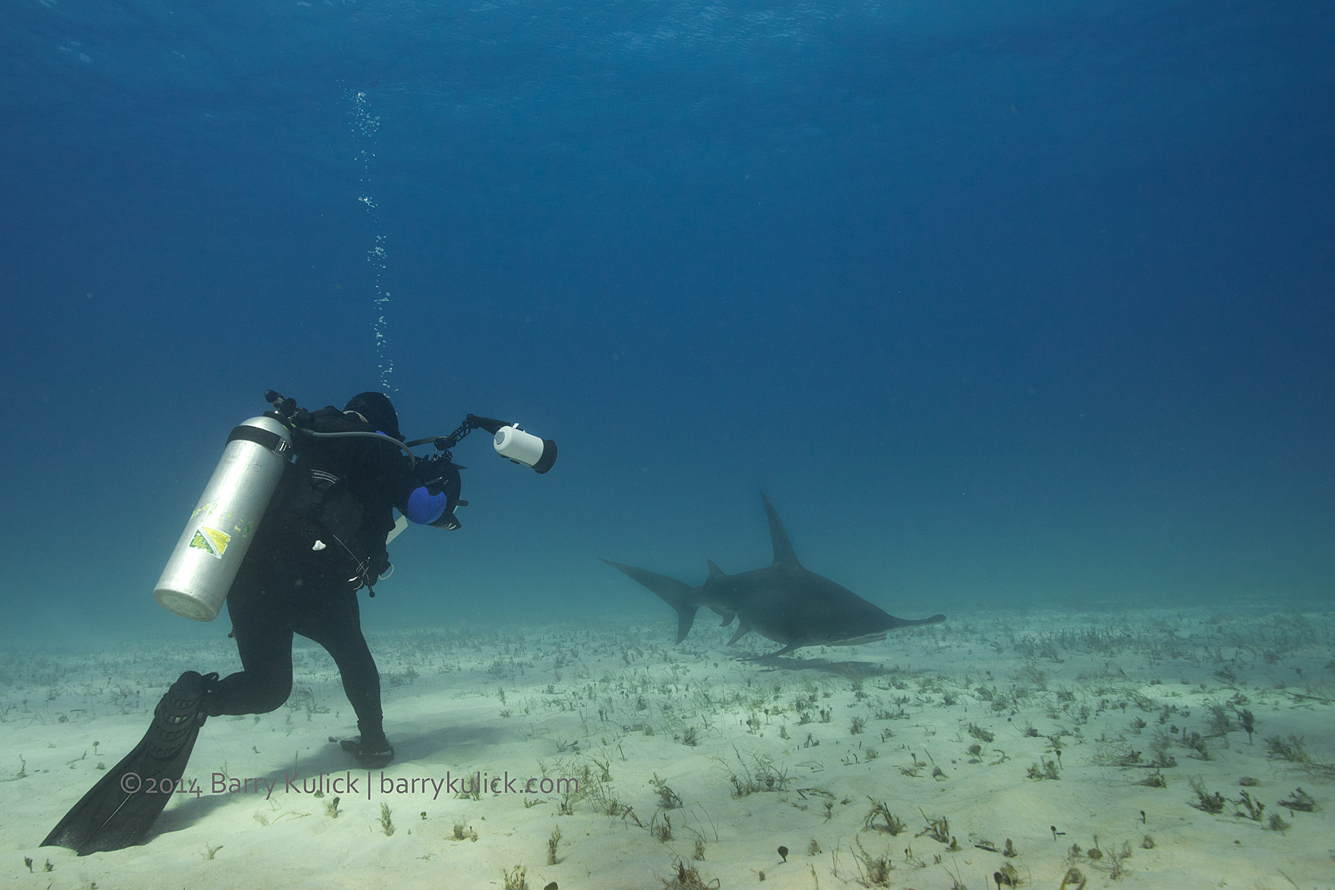 Great Hammerhead Sharks off South Bimini, Bahamas