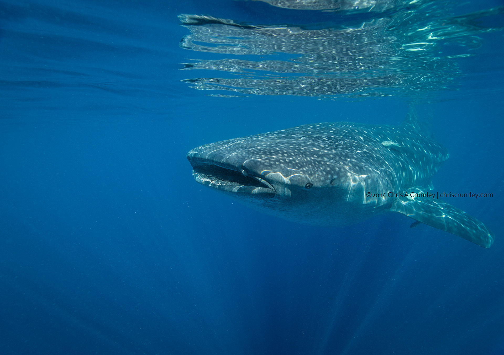 Whale Shark Isla Mujeres, Mexico Underwater