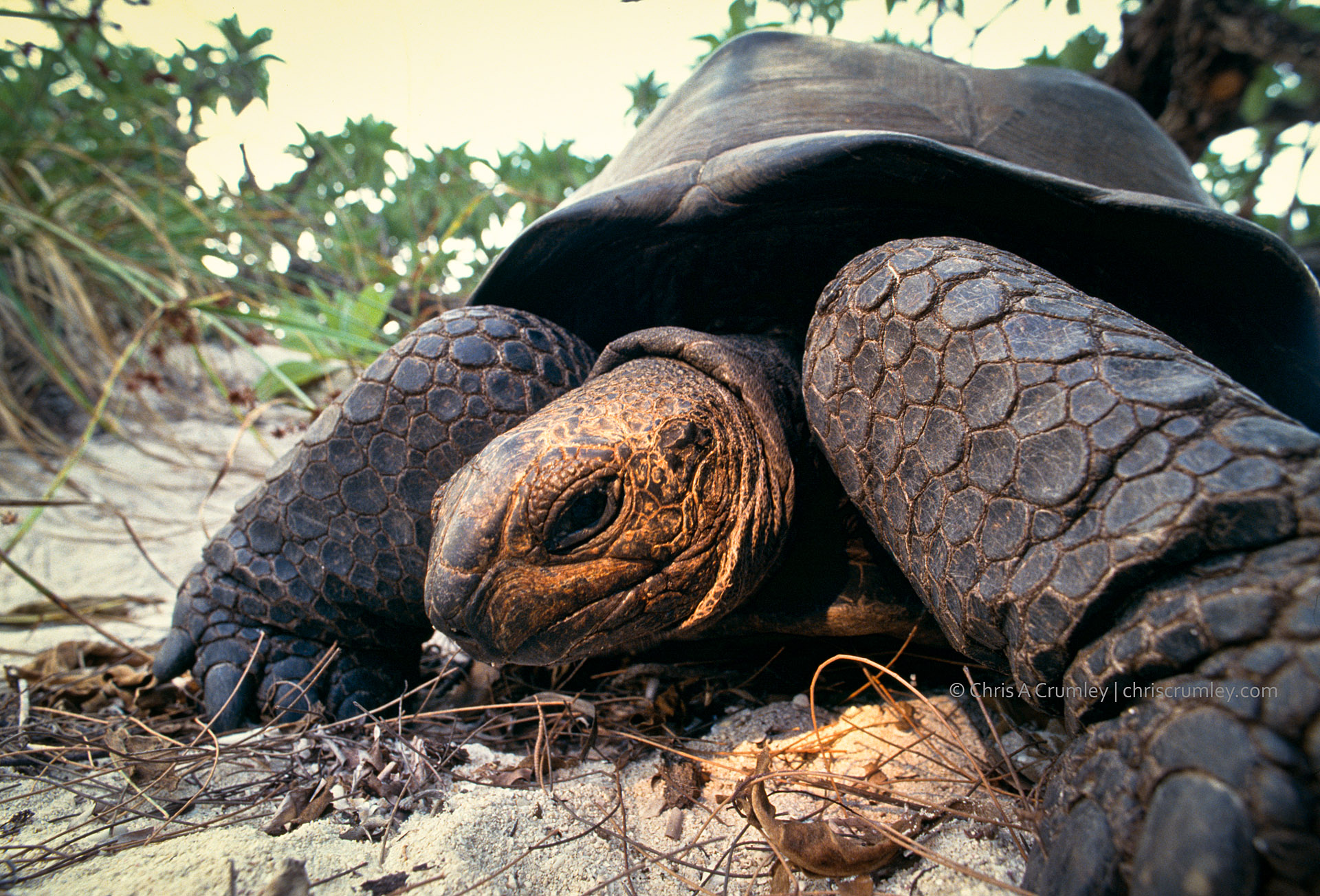 Giant Tortoise on the Aldabra Atoll in the Seychelles Islands